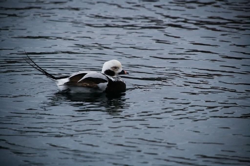 alfågel Simrishamn