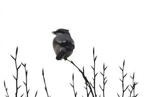 Varfågel Fjällmossen 2-4-2016