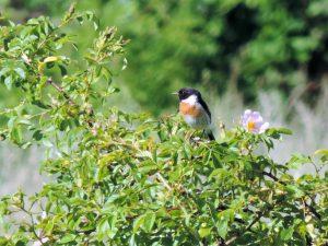 svarthakad buskskvätta