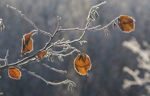 Hassel i vinterdragt